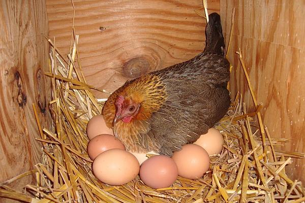 rase-da-gaini-pentru-oua
